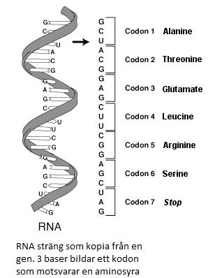 hur är proteiner uppbyggda